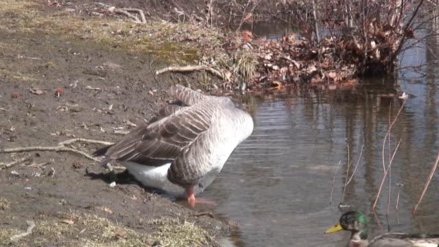 vídeos de stock e filmes b-roll de grey goose 4-hd 1080 60i / - quatro animais