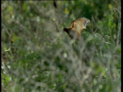 Grey Headed Flying Fox lands in tree to roost, Australia