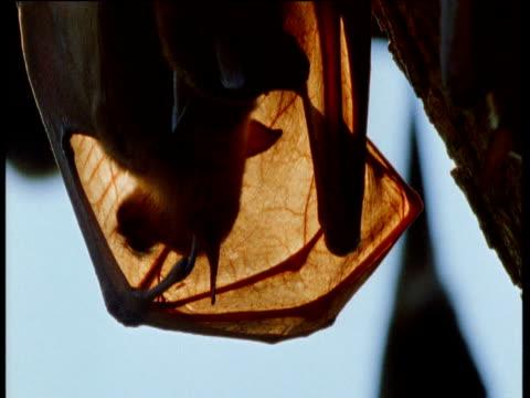 grey headed fruit bat licks the inside of its wing membrane as it grooms, australia - partiell lichtdurchlässig stock-videos und b-roll-filmmaterial