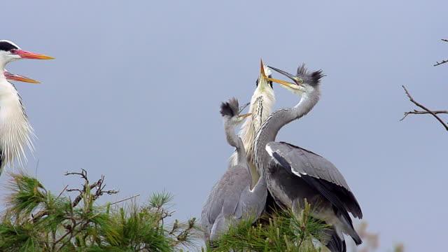 vidéos et rushes de ms slo mo pan grey heron, adult and immatures on nest (south of france) / saintes marie de la mer, camargue, france - petit groupe d'animaux