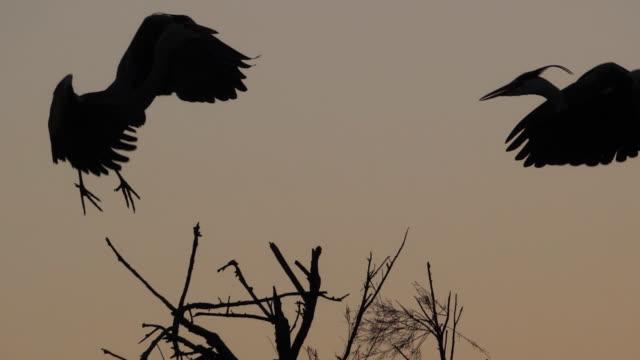 grey heron, ardea cinerea, at sunset, camargue, france - heron stock videos & royalty-free footage