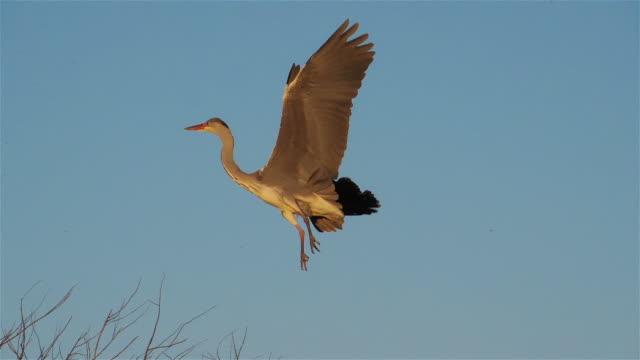 grey heron, ardea cinerea, camargue, france - heron stock videos & royalty-free footage