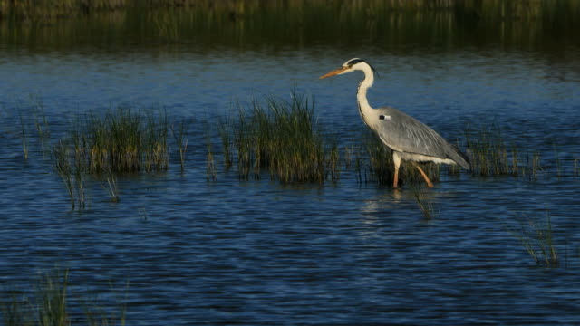 grey heron, ardea cinerea, camargue, france - bunter reiher stock-videos und b-roll-filmmaterial