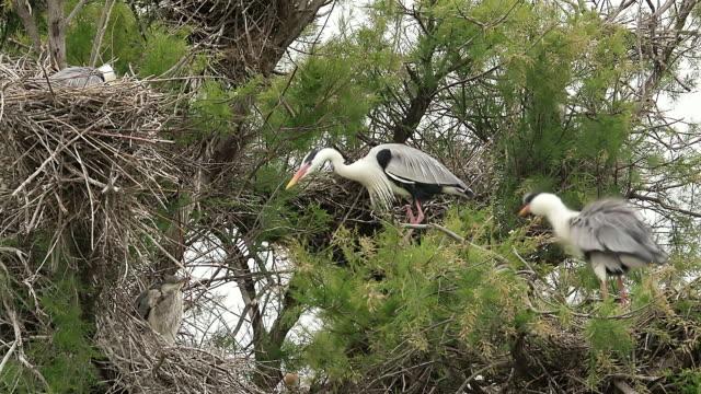 ms grey heron, ardea cinerea on tree top / saintes marie de la mer, camargue, france - gruppo medio di animali video stock e b–roll