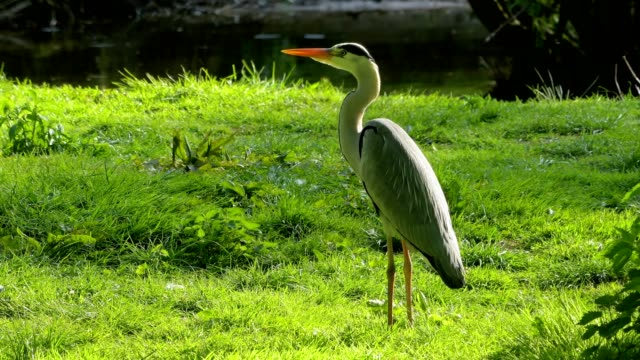 grey heron, ardea cinerea - bunter reiher stock-videos und b-roll-filmmaterial