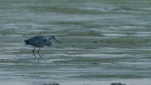 grey heron (ardea cinerea) catching an eel in mud flats, new forest - heron stock videos & royalty-free footage