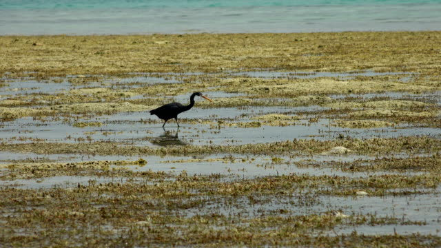 grey heron catching in the reef and a fish jumping - national park stock videos & royalty-free footage