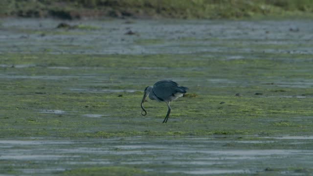 grey heron (ardea cinerea) eating an eel in mud flats, new forest - heron stock videos & royalty-free footage