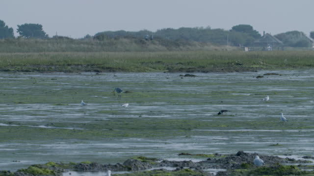 grey heron eating eel on tidal flats - heron stock videos & royalty-free footage
