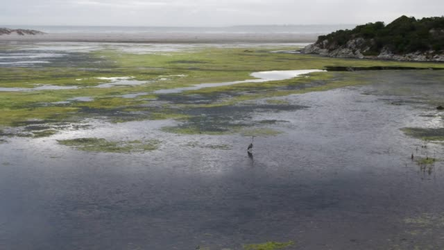 grey heron feeds in the estuary by the sea - hermanus stock videos & royalty-free footage