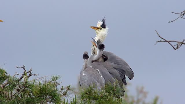 vidéos et rushes de ms slo mo grey heron immatures on nest (south of france) / saintes marie de la mer, camargue, france - petit groupe d'animaux