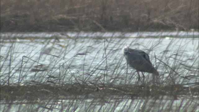 vídeos y material grabado en eventos de stock de grey heron in hokkaido - cuello humano
