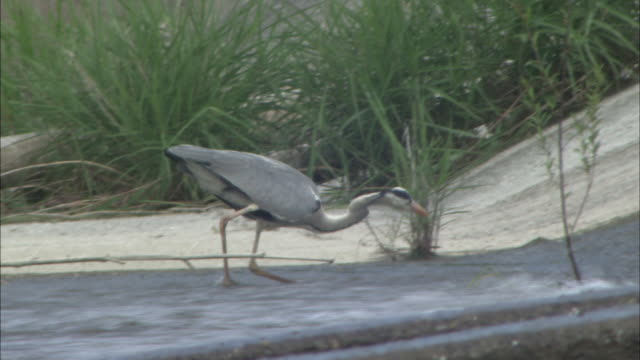 grey heron(ardea cinerea) in kushida river - bunter reiher stock-videos und b-roll-filmmaterial