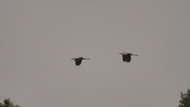 grey heron (ardea cinerea) - khingan nature reserve - pond stock videos & royalty-free footage