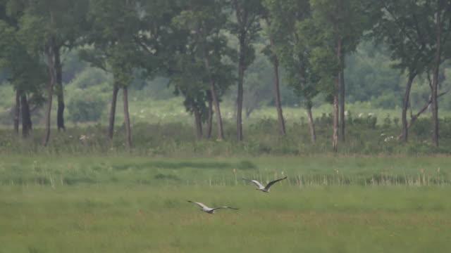 grey heron (ardea cinerea) - khingan nature reserve - heron stock videos & royalty-free footage