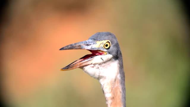 vídeos de stock, filmes e b-roll de cu grey heron (ardea cinerea) looking away / addo elephant national park/ south africa - prontidão