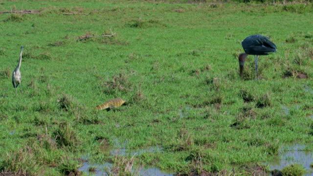 stockvideo's en b-roll-footage met grey heron  nile monitor lizard & marabou stork maasai mara, kenya, africa - reiger