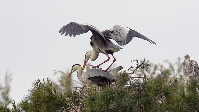 vidéos et rushes de ms slo mo grey heron (ardea cinerea) pair mating on nest (south of france) / saintes marie de la mer, camargue, france - petit groupe d'animaux