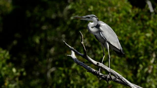 vidéos et rushes de grey heron assis sur un arbre - cou humain