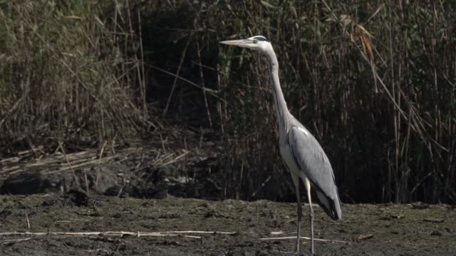 vídeos de stock e filmes b-roll de grey heron (ardea cinerea) - um animal