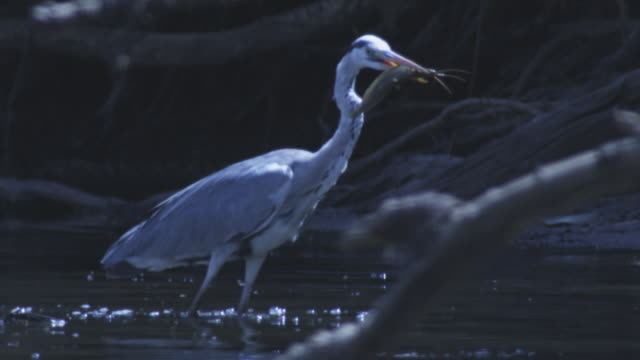 SLOMO MS Grey heron with catfish in its beak