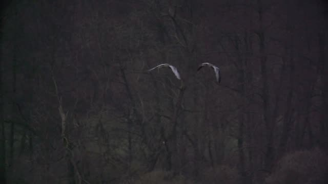 grey herons (ardea cinerea) fly together over swamp - heron stock videos & royalty-free footage