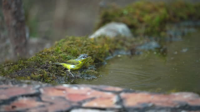 grey hooded warbler taking a bath in slow motion - songbird stock videos & royalty-free footage