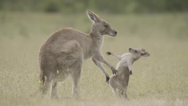 grey kangaroo and joey embrace, australia - female animal stock videos & royalty-free footage