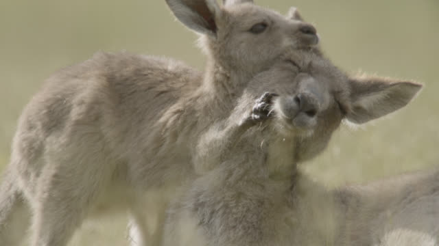 grey kangaroo and joey embrace, australia - group of animals stock videos & royalty-free footage