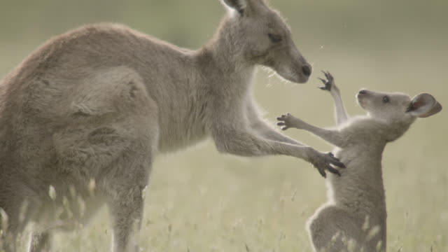 vídeos de stock e filmes b-roll de grey kangaroo and joey embrace, australia - família animal