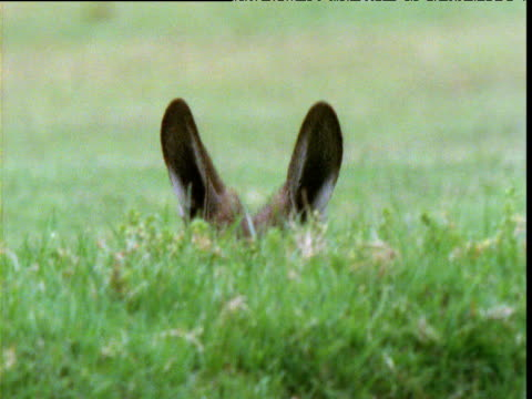 Grey kangaroo ears swivel alertly behind grassy bank on golf course, Victoria, Australia