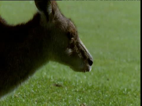 Grey kangaroo grazes on golf course, Victoria, Australia