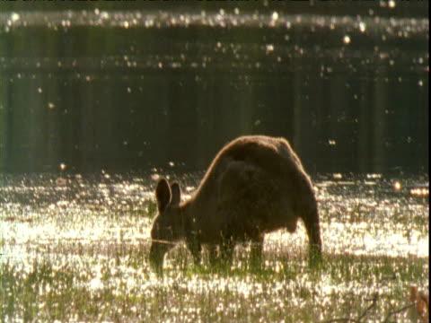 Grey kangaroo grazes on grass in flooded river shallows, Victoria, Australia