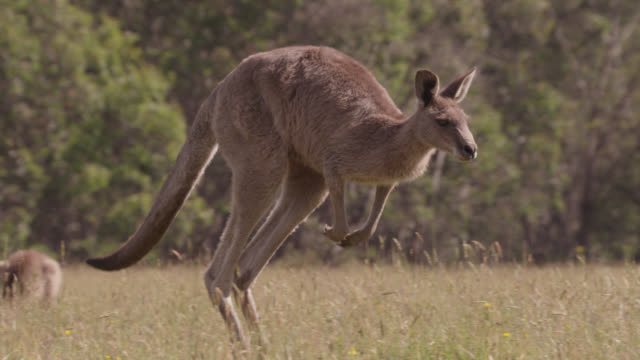 slomo grey kangaroo hops in meadow, australia - gruppo medio di animali video stock e b–roll