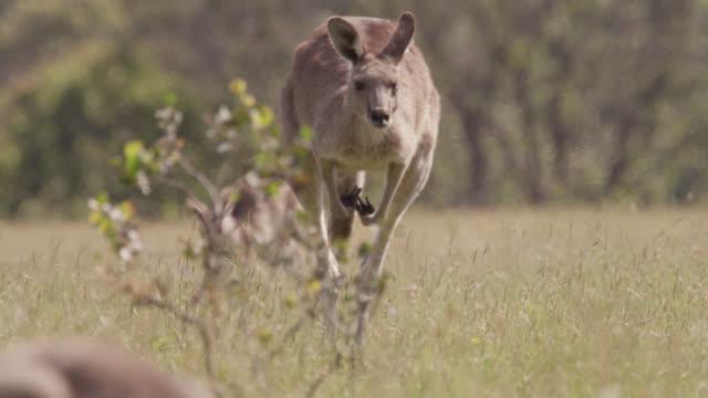slomo grey kangaroo hops in meadow, australia - カンガルー点の映像素材/bロール