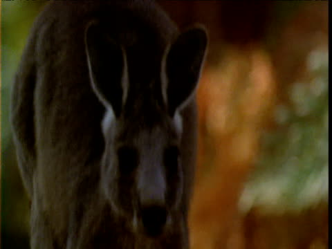 Grey kangaroo hops towards and past camera in bush, Victoria