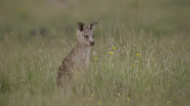 grey kangaroo joey hops away, australia - カンガルーの子点の映像素材/bロール
