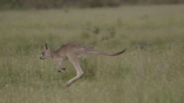 grey kangaroo joey hops to mother, australia - カンガルーの子点の映像素材/bロール