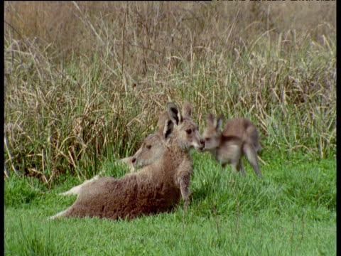 grey kangaroo joey jumps on adult's head, new south wales - カンガルーの子点の映像素材/bロール