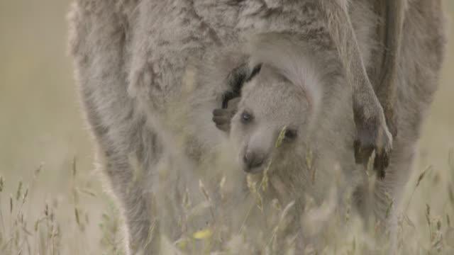vídeos de stock, filmes e b-roll de grey kangaroo joey peers from mother's pouch, australia - espreitando