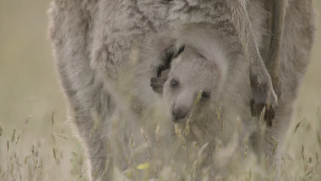 grey kangaroo joey peers from mother's pouch, australia - peeking stock videos & royalty-free footage