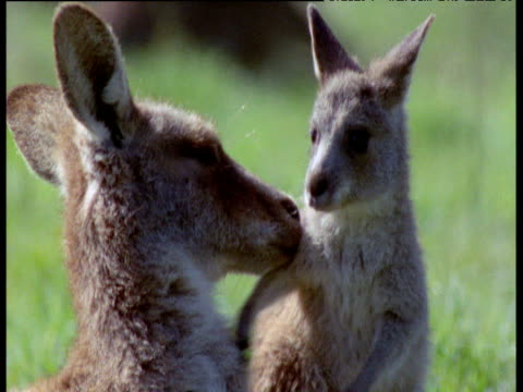 Grey Kangaroo joey pounces on mother's ears, New South Wales