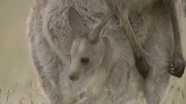 grey kangaroo joey retreats into mother's pouch, australia - カンガルーの子点の映像素材/bロール
