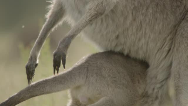 grey kangaroo joey retreats into mother's pouch, australia - beuteltier stock-videos und b-roll-filmmaterial