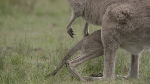 grey kangaroo joey squeezes into mother's pouch, australia - beuteltier stock-videos und b-roll-filmmaterial