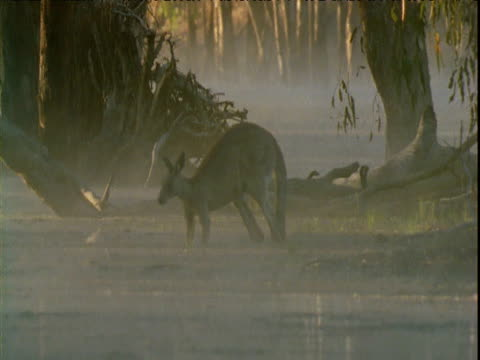 Grey kangaroo jumps into swollen river and swims across it at dawn, Victoria, Australia