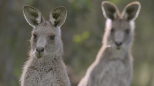 grey kangaroo leans and peers at camera, australia - カンガルー点の映像素材/bロール