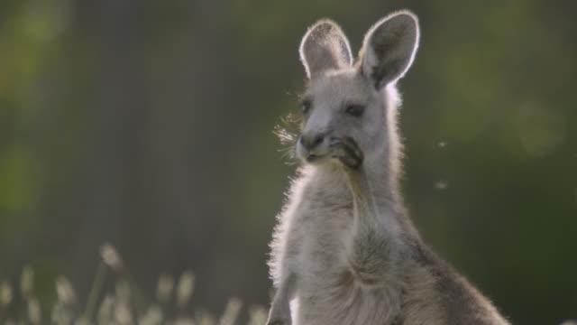vidéos et rushes de grey kangaroo shoos fly from face, australia - insecte