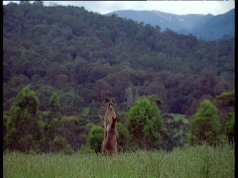 grey kangaroos boxing, geehi flats, new south wales - 虐待点の映像素材/bロール