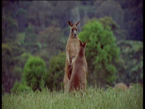 Grey Kangaroos boxing, Geehi Flats, New South Wales